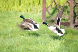 2 kaczory w ogrodzie