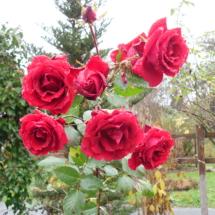 ostatnie czerwone roze