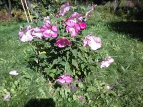 kwiaty hibiskusa jak motyle