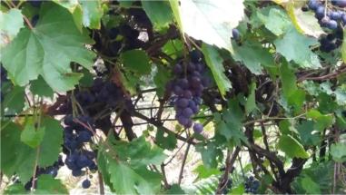 winogrona już dojrzałe