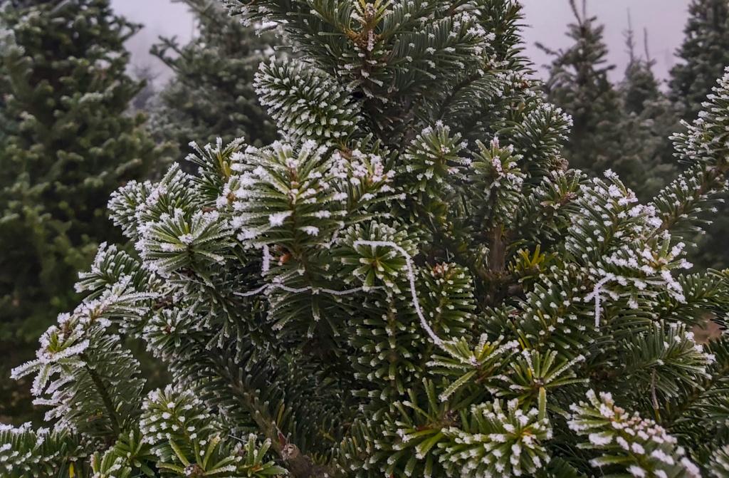 Natura stroi drzewa i krzewy na Święta