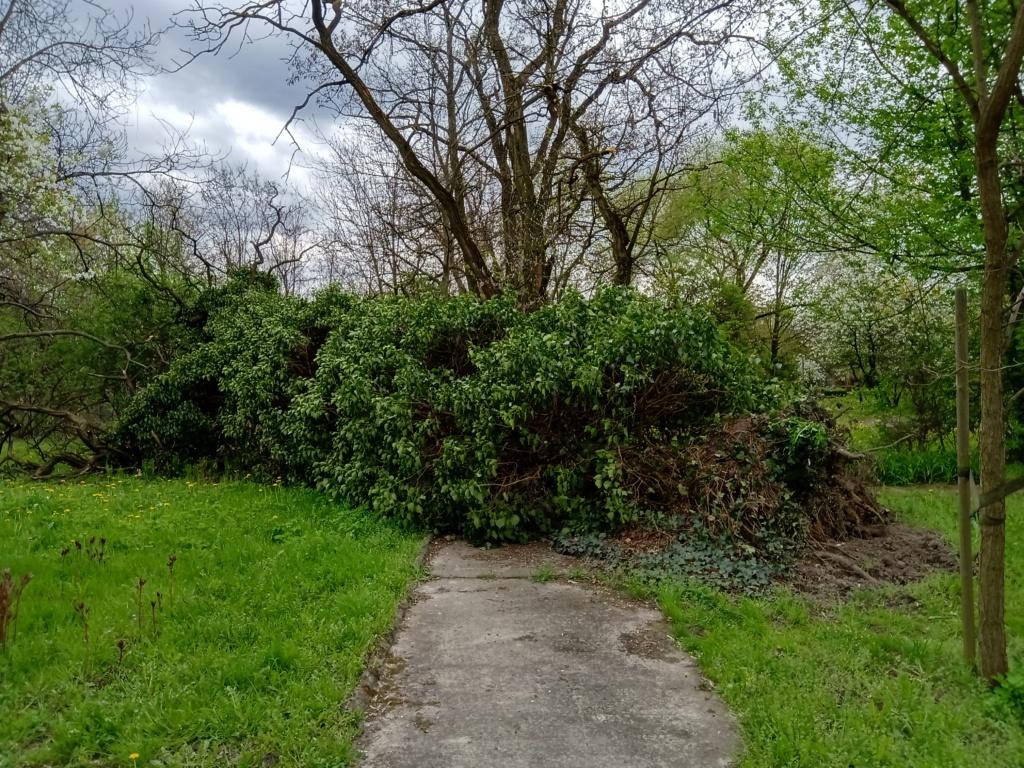 Robinia akacjowa powalona przez wiatr